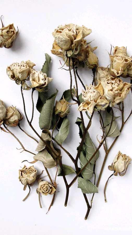 засушенные розы в картинках бродяга нам сказал